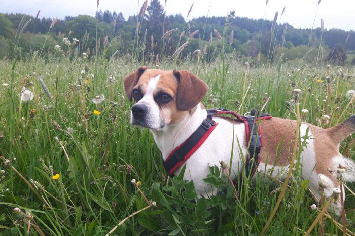 Vom Wert der Natur in der Selbstständigkeit, #NaturSichtBlogaktion, Natur und Selbstständigkeit, Hund im Feld